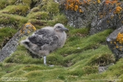 Stercorarius antarcticus lonnbergi019.Chick.King George Is.South Shetland Islands.Antarctica.17.01.2019