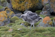 Stercorarius antarcticus lonnbergi021.Chick.King George Is.South Shetland Islands.Antarctica.20.01.2019