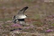 Stercorarius_longicaudatus005.Coraholmen_Is.Isfjorden.Spitsbergen.MJ.7.07.2018