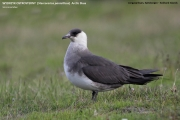 051.002.Stercorarius_parasiticus001.Longyearbyen.Spitsbergen.PJ.9.07.2018