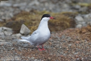 Sterna_vittata003.King_George_Is.South_Shetland_Islands.Antarctica.5.02.2019