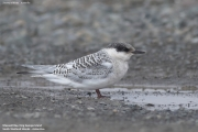 Sterna_vittata005.Juv.King_George_Is.South_Shetland_Islands.Antarctica.5.02.2019