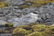 Sterna_vittata006.Juv.King_George_Is.South_Shetland_Islands.Antarctica.5.02.2019
