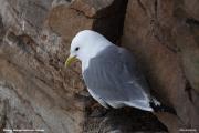 Rissa tridactyla016.Ekkeroy.Varanger.2.06.2007