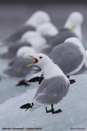 Rissa tridactyla032.Isfjorden.Spitsbergen.7.07.2018