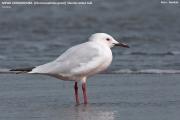 052.015.Chroicocephalus_genei0001.Wybrzeze.Gambia.22.01.2009