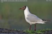 052.022.Chroicocephalus_ridibundus001.MJ.Sikory_nad_Narwia.25.04.2011