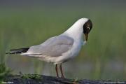 Chroicocephalus_ridibundus004.MJ.Sikory_nad_Narwia.25.04.2011