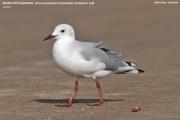 052.024.Chroicocephalus_hartlaubii001.Walvis_Bay.Namibia.14.02.2014
