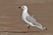 Chroicocephalus_hartlaubii005.Walvis_Bay.Namibia.14.02.2014