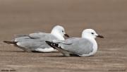 Chroicocephalus_hartlaubii006.Walvis_Bay.Namibia.14.02.2014