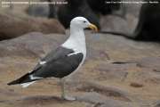 052.049.Larus_dominicanus001.Cape_Cross.Namibia.16.02.2014