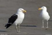 Larus_dominicanus003.Walvis_Bay.Namibia.14.02.2014