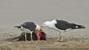 Larus_dominicanus012.Walvis_Bay.Namibia.15.02.2014