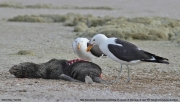 Larus_dominicanus023.Walvis_Bay.Namibia.15.02.2014