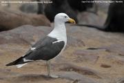 052.049.Larus_dominicanus001.Cape_Cross.Namibia.16.02.2014