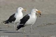 Larus_dominicanus004.Walvis_Bay.Namibia.14.02.2014