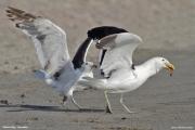 Larus_dominicanus005.Walvis_Bay.Namibia.14.02.2014