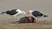 Larus_dominicanus009.Walvis_Bay.Namibia.15.02.2014