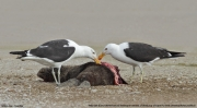 Larus_dominicanus013.Walvis_Bay.Namibia.15.02.2014