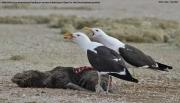 Larus_dominicanus021.Walvis_Bay.Namibia.15.02.2014