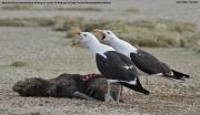 Larus_dominicanus022.Walvis_Bay.Namibia.15.02.2014