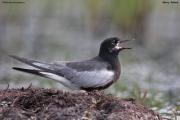 Chlidonias_leucopterus035.PJ.Sikory_nad_Narwia.20.06.2010