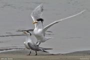 Thalasseus_bergii004.Walvis_Bay.Namibia.14.02.2014