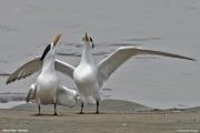 Thalasseus_bergii006.Walvis_Bay.Namibia.14.02.2014