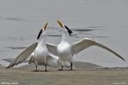 Thalasseus_bergii007.Walvis_Bay.Namibia.14.02.2014