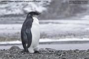 057.002.Aptenodytes_forsteri001.Juv.King_George_Is.South_Shetland_Islands.Antarctica.25.01.2019