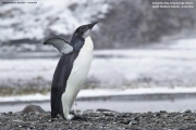 Aptenodytes_forsteri003.Juv.King_George_Is.South_Shetland_Islands.Antarctica.25.01.2019