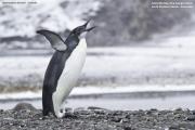 Aptenodytes_forsteri004.Juv.King_George_Is.South_Shetland_Islands.Antarctica.25.01.2019