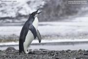 Aptenodytes_forsteri005.Juv.King_George_Is.South_Shetland_Islands.Antarctica.25.01.2019
