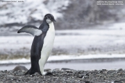 Aptenodytes_forsteri006.Juv.King_George_Is.South_Shetland_Islands.Antarctica.25.01.2019