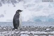 Aptenodytes_forsteri009.Juv.King_George_Is.South_Shetland_Islands.Antarctica.25.01.2019