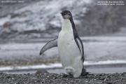 Aptenodytes_forsteri010.Juv.King_George_Is.South_Shetland_Islands.Antarctica.25.01.2019