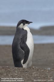 Aptenodytes_forsteri011.Juv.King_George_Is.South_Shetland_Islands.Antarctica.5.02.2019