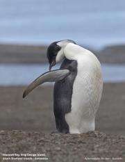 Aptenodytes_forsteri012.Juv.King_George_Is.South_Shetland_Islands.Antarctica.5.02.2019
