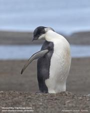 Aptenodytes_forsteri013.Juv.King_George_Is.South_Shetland_Islands.Antarctica.5.02.2019