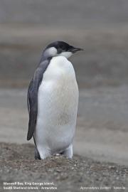 Aptenodytes_forsteri014.Juv.King_George_Is.South_Shetland_Islands.Antarctica.5.02.2019