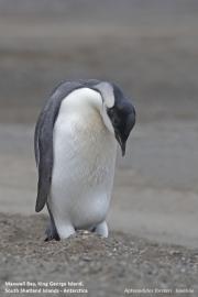 Aptenodytes_forsteri015.Juv.King_George_Is.South_Shetland_Islands.Antarctica.5.02.2019