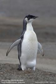 Aptenodytes_forsteri017.Juv.King_George_Is.South_Shetland_Islands.Antarctica.5.02.2019