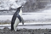 Aptenodytes_forsteri005.Juv.King_George_Is.South_Shetland_Islands.Antarctica.25.01.2019