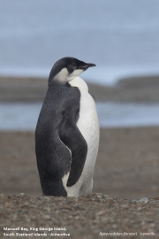 Aptenodytes_forsteri011.Juv.King_George_Is.South_Shetland_Islands.Antarctica.5.02.2019