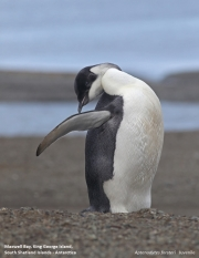 Aptenodytes_forsteri012.Juv.King_George_Is.South_Shetland_Islands.Antarctica.5.02.2019