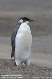 Aptenodytes_forsteri014.Juv.King_George_Is.South_Shetland_Islands.Antarctica.5.02.2019