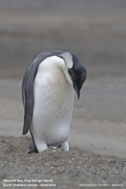 Aptenodytes_forsteri015.Juv.King_George_Is.South_Shetland_Islands.Antarctica.5.02.2019