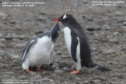 Pygoscelis-papua179.King-George-Is.South-Shetland-Islands.Antarctica.30.01.2019