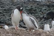 Pygoscelis-papua181.King-George-Is.South-Shetland-Islands.Antarctica.21.01.2019